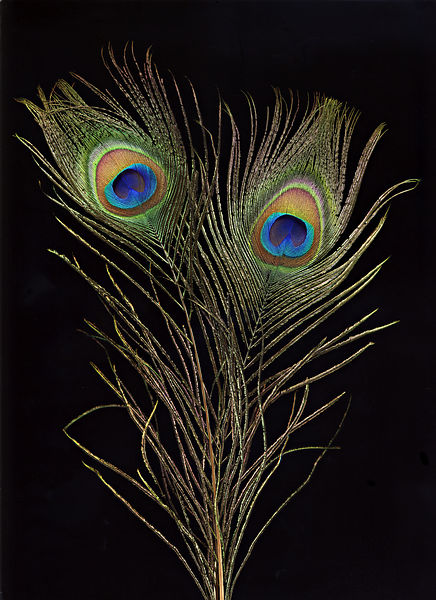 peacock_feather_copy