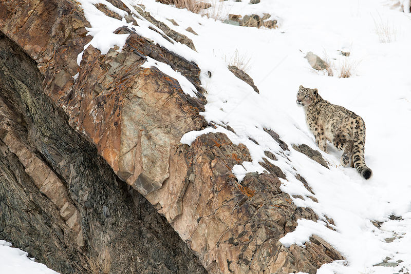 Snow Leopard (Uncia uncia) walking down snow covered slope, Hemas National Park, Ladakh, India