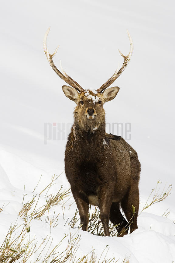 Male Sika deer (Cervus nippon) in snowy landscape, winter