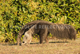 giant_anteater_walking-71