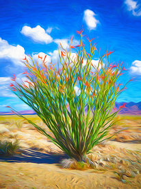 Flowering Ocotillo