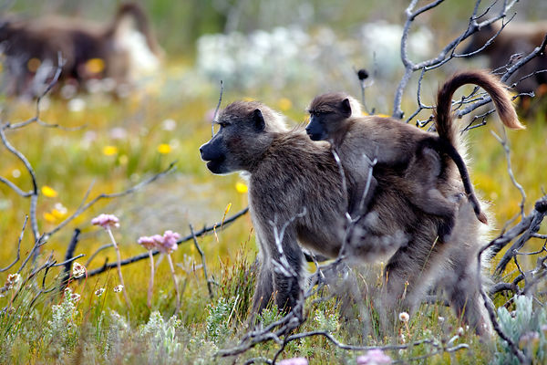 A baby chacma baboon rides on its mother's back in beautiful fynbos, Smitswinkel Flats, Cape Peninsula, South Africa