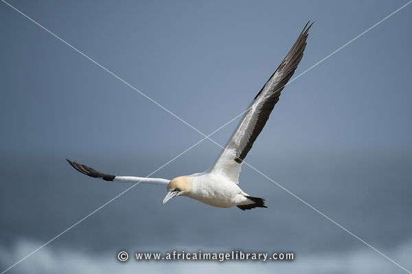 Cape gannet in flight, Sula capensis, Bird island, Lambert's Bay, South Africa