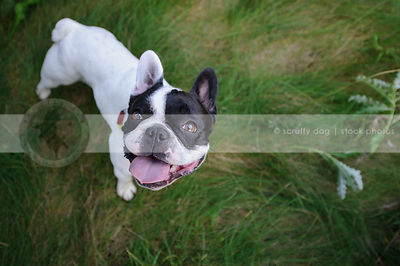 happy french bulldog smiling up from grasses