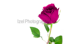 A single pink rose on a white background.