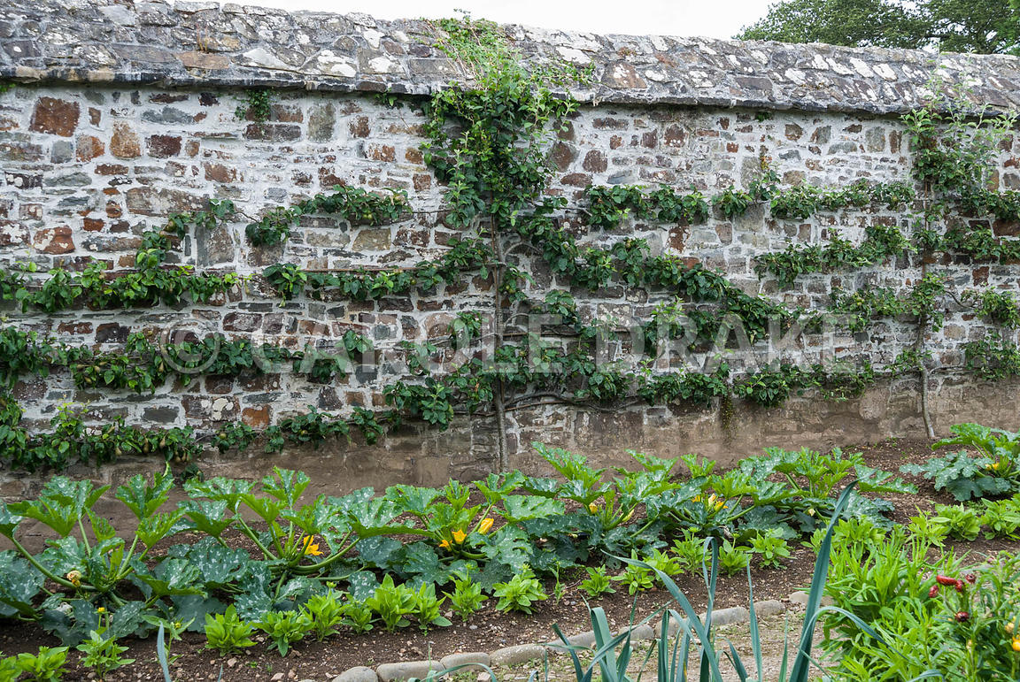 Espaliered pears with lines of courgettes and flowers in front. Clovelly Court, Bideford, Devon, UK