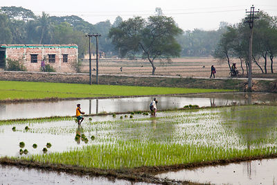 Rice paddies south of Kolkata, India in an area called South 24 Parganas.