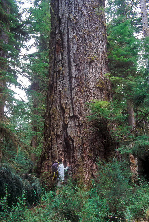 The photographer next to the Queets Fir, second largest Douglas-fir tree in the world at 16 feet in diameter, Olympic Nationa...