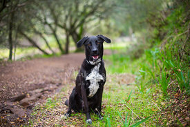 Smiling Black and White Labrador Mix Sitting on Trail in Woods