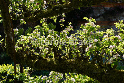 Apple tunnel in blossom in the Tunnel Garden at Heale House, Middle Woodford, Wiltshire