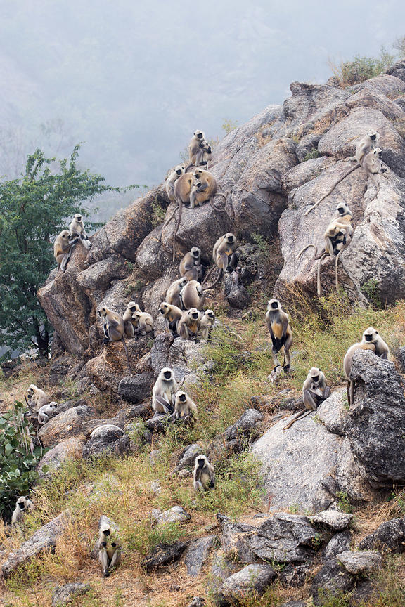 A troop of Langur monkeys frolic on a rocky hillside, Ajaypal, Rajasthan, India