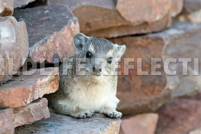 Hyrax Rock Wall Watch 2