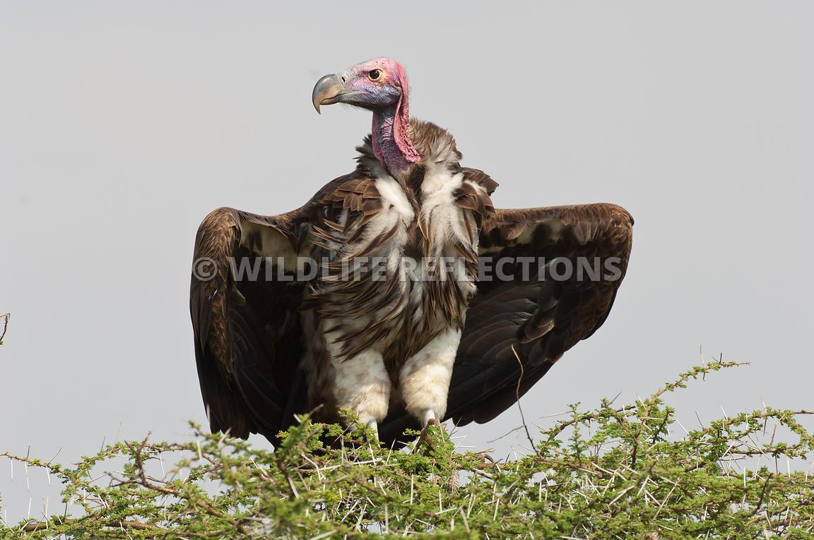 lappet_vulture_acacia_top201109