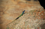 Common flat lizard, Platysaurus intermedius, Matobo National Park, Zimbabwe