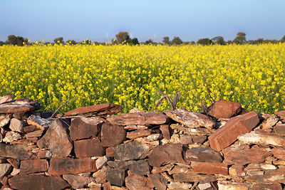 Mustard being grown near Phalodi, Rajasthan, India