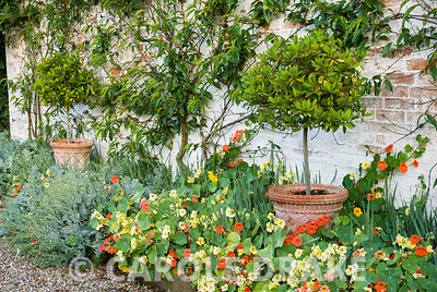Wall trained peach with standard bay in front surrounded by nasturtiums and sea kale, Crambe maritima. Melplash Court, Bridpo...
