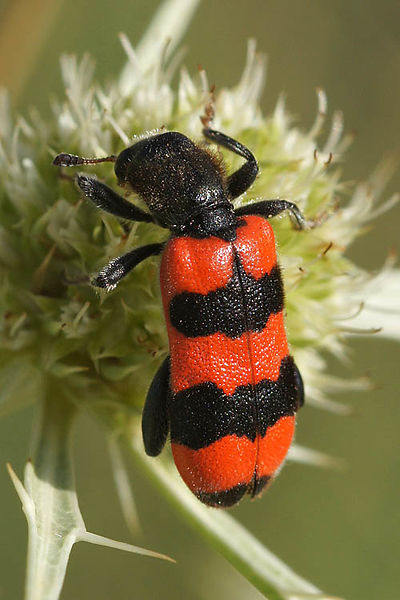 Cleridae - Checkered beetles - Mierenkevers
