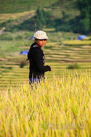 Hmong Girl in Mature Rice Paddy