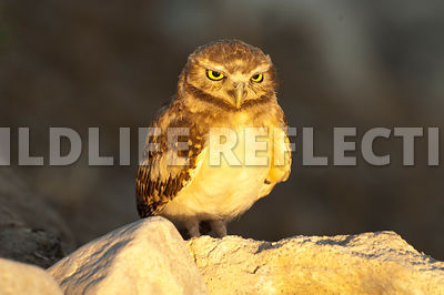 burrowing_owl_sunset_glow