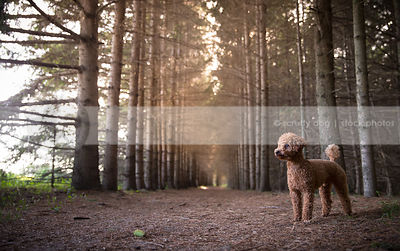 clipped apricot poodle dog standing posing in pine forest