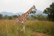 Rothschild Giraffe (Giraffa camelopardalis rothschildi), Kidepo Valley National Park, Uganda