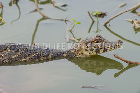 caiman_close_young-1