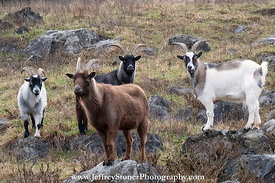 Goats of Many Colors