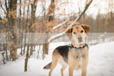 alert tan and black cross breed dog standing in winter forest