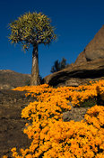 Quiver tree, Aloe dichotoma, and flowering daisies in spring, Nababeep, Namaqualand, South Africa