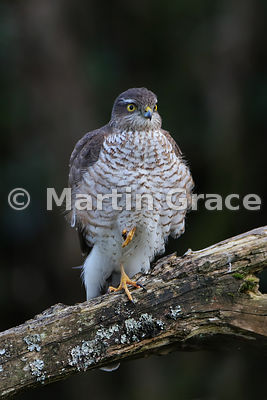 Sparrowhawk Five - commended in the Garden and Urban Birds category of Bird Photographer of the Year 2018