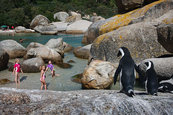 African penguins (Spheniscus demersus), and swimmers, Boulders Beach, South Africa