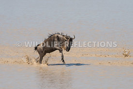 wildebeest_lake_crossing_sequence_02242015-113