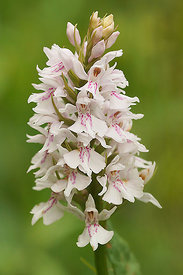 Bos orchis - Dactylorhiza maculata