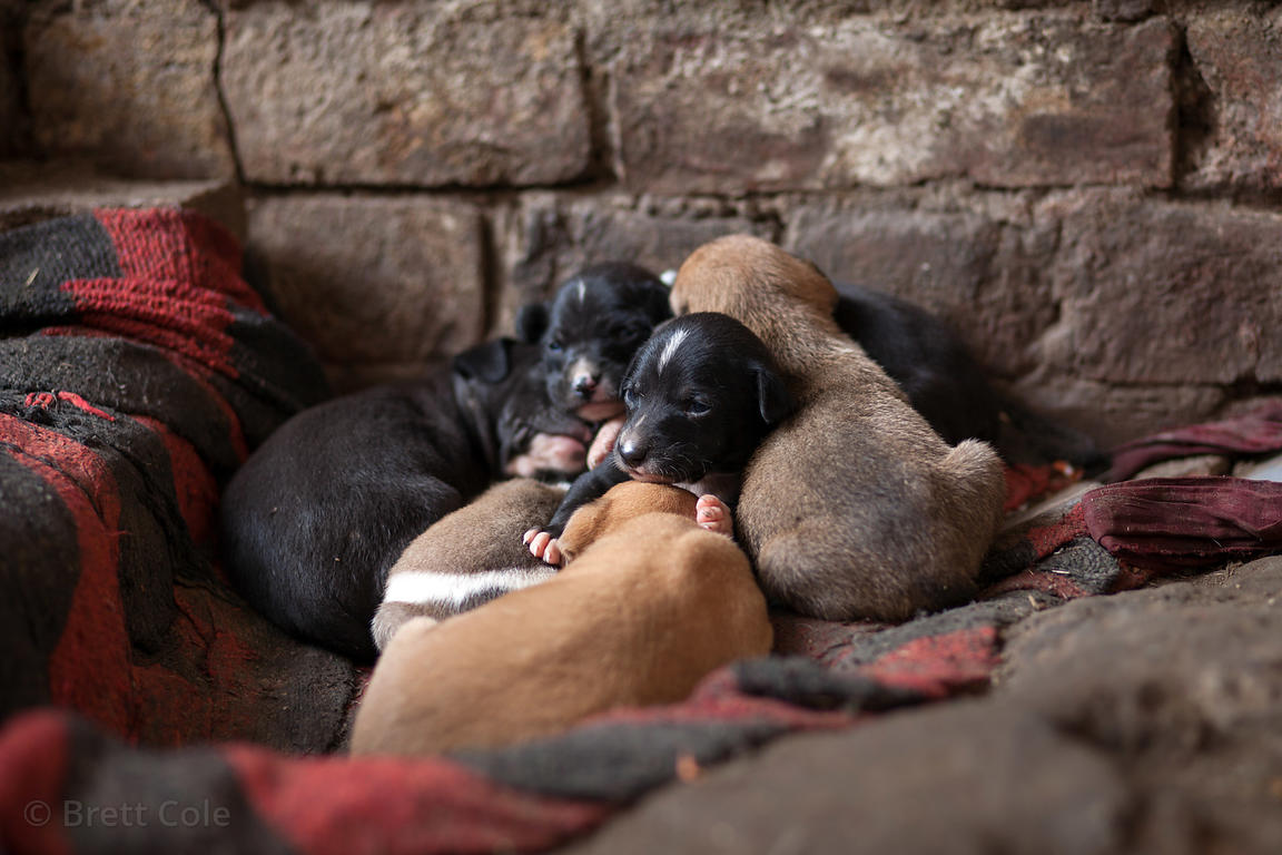 Litter of stray dogs on the street in Varanasi, India.