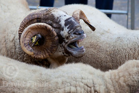 Horned ram face. Catalan Sheep Fair (Fira Catalana de l'Ovella)