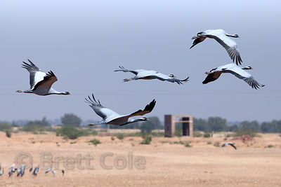 Demoiselle Cranes (Anthropoides virgo) in the rural village of Keechan, near Jodhpur, Rajasthan, India