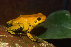 Dendrobates species