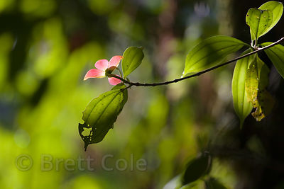 Hot pink flowers of the (sp.) tree, in the low canopy of primary forest, Las Nubes, Costa Rica