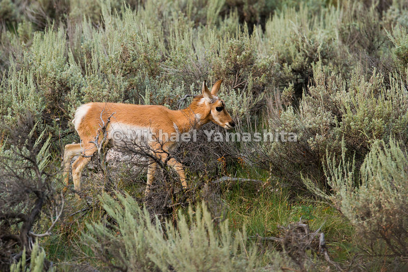 Pronghorn antelope in the Northern Range area of Yellowstone National Park, Montana / Wyoming...Yellowstone National Park, Am...