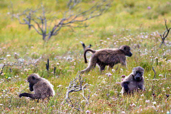 Baboons from the Kanonkop troop foraging in Smitswinkel Flats, Cape Peninsula, South Africa
