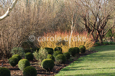 Cornus sanguinea 'Midwinter Fire' with clipped box balls and white stemmed birch. Sir Harold Hillier Gardens, Ampfield, Romse...