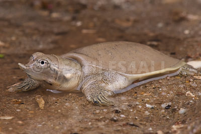 Smooth Softshell Turtle (Apalone mutica)