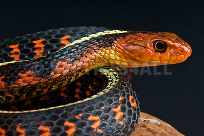Red spotted garter snake  (Thamnophis sirtalis concinnus)