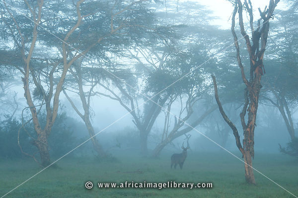 Defassa waterbuck (Kobus ellipsiprymnus defassa) in fever tree forest on misty morning, Solio Game Ranch, Laikipia, Kenya