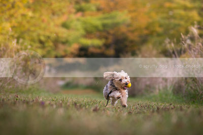 small terrier mixed breed dog fetching ball running in park grass