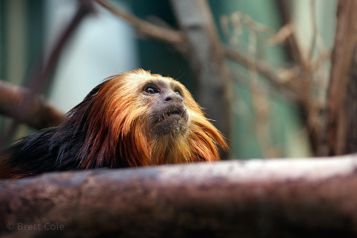 Golden-headed lion tamarin (Leontopithecus chrysomelas), National Zoo, Washington, D.C.
