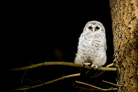 June - Barred Owl (fledgling)