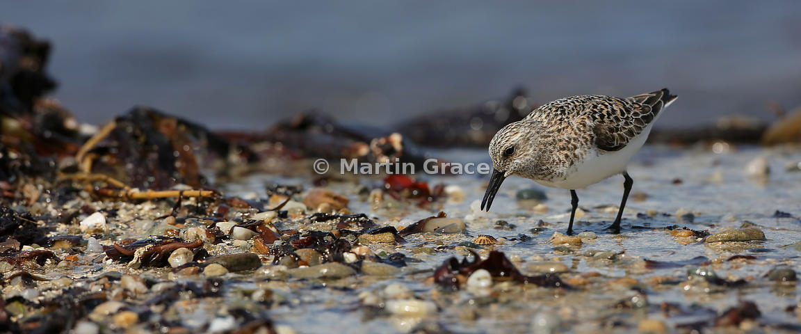 Sanderling - shortlisted in the Birds in the Environment category of Bird Photographer of the Year 2018