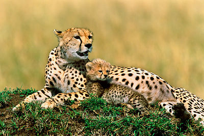 Cheetah_and_kitten_CROPPED
