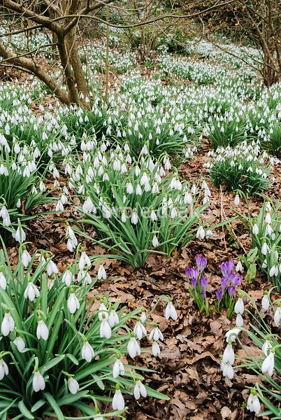 Clumps of tall Galanthus 'Atkinsii' are interspersed with bright crocus below hazel. Painswick Rococo Garden, Painswick, Glos...